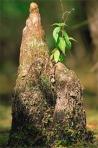 cypressknee