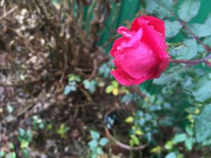 and-rose